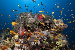 Korallenriff mit Harems-Fahnenbarschen, Aegypten