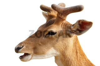 portrait of young fallow deer buck ( Dama ) isolated over white background