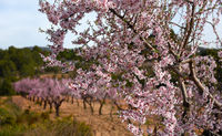 Blooming almond trees. Spain