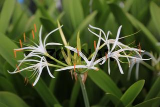 Asiatische Hakenlilie, Swamp Lily, Crinum pedunculatum asiaticum