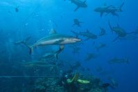 Graue Riffhai bei Haifuetterung, Australien