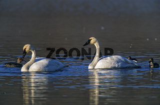 Trompeterschwan Altvoegel suchen Wasserpflanzen auf dem Wonder-Lake / Trumpeter Swan adult birds search aquatic plants on the Wonder Lake / Cygnus buccinator