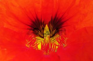 Blütendetail einer Kapuzinerkresse