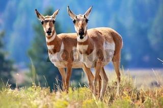 pronghorn antelope Yellowstone