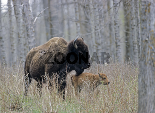 Amerikanische Bisonkuh mit sehr jungem Kalb - (Indianerbueffel - Bueffel) / American Bison cow with very young calf - (American Buffalo - Plains Bison) / Bison bison - Bison bison (bison)
