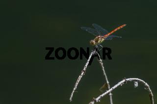 Eine Gemeine Heidelibelle (Sympetrum vulgatum) auf einem Ast im