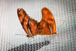 Schmetterlinge Paarung