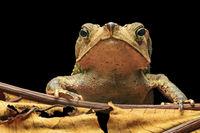 Toad Rhinella dapsilis, Yasuni, Ecuador
