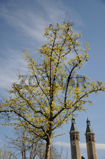 Cornus mas, Kornelkirsche, European cornel