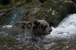 im Wildbach... Europäischer Braunbär *Ursus arctos*