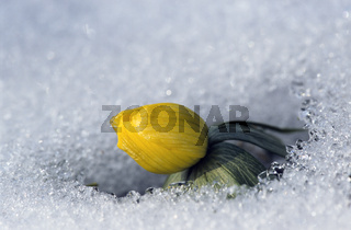 Winterling liefert als eine der ersten Pflanzen im Jahr Nektar und Pollen fuer Bienen / Winter Aconite all parts of the plant are poisonous when consumed by humans / Eranthis hyemalis