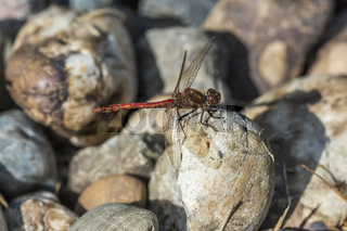 Gemeine Heidelibelle (Sympetrum vulgatum) ruht auf Kieselsteinen