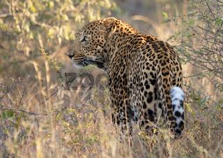 leopard at kruger national park
