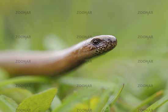 raising its head... Slow Worm *Anguis fragilis*