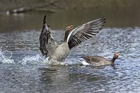 Gray goose, (Anser anser), landing in the water, Hamburg, Germany, Europe