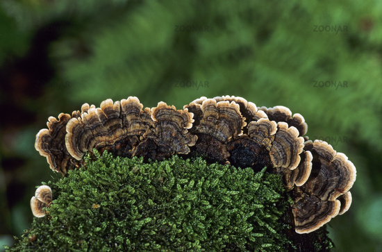 Turkey Tail on a mossy tree trunk