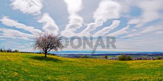 Blühender Apfelbaum auf einer Frühlingswiese am Bodensee