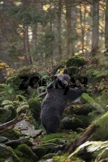 im Schluchtwald... Europäischer Braunbär *Ursus arctos*