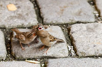 Sparrow Feeding Two Fledgelings