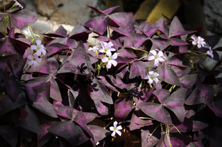 Oxalis regnellii, Sauerklee, Purple shamrock plant