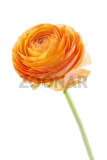 Orangefarbene Ranunkel auf weißem Hintergrund