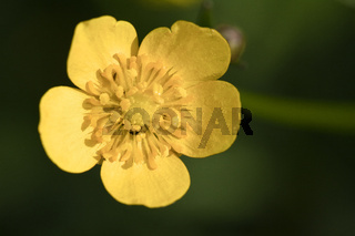 Yellow wood anemone, Anemone ranunculoides