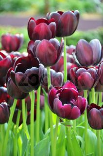 Beautiful of tulips