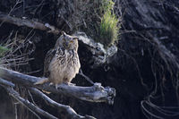 Eurasian eagle-owl the electrocution was the greatest cause of mortality