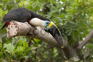Toucan (Ramphastos Toco) sitting on tree branch in tropical forest or jungle.