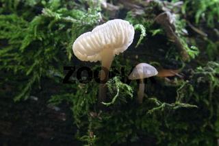 Durchscheinender Pilz
