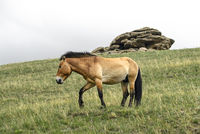 Przewalski-Pferde Hengst (Equus ferus przewalskii)