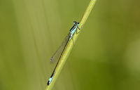 Blue-tailed damselfly (Ischnura elegans), male