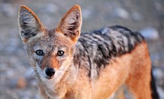 Schabrackenschakal, black-backed Jackal, Canis mesomelas, Namibia