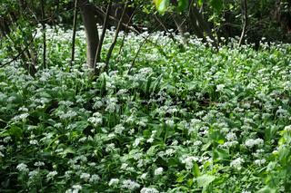 Allium ursinum, Bärlauch, Bears garlic