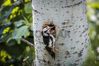 Buntspecht am Baum / Nördliches Burgenland