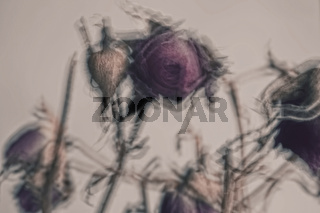 Dried flowers red rose