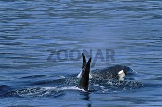 Schwertwal - (Killerwal) / Orca - (Killer Whale) / Orcinus orca