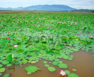 Vietnam flower, lotus flower, lotus pond