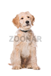 Beige Labradoodle dog