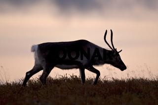 Rentier eine Stunde nach der Geburt kann das Kalb bereits laufen - (Bild Rentierkalb - Eurasisches Tundraren) / Reindeer after 45 days the calves are able to graze and forage - (Photo calf - Mountain Reindeer) / Rangifer tarandus (tarandus)