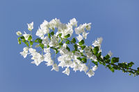 White blooming bougainvilleas against the blue sky