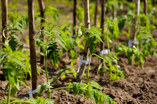 tomato seedling row fresh planted grow in ground