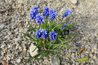 Blaue Perlhyazinthe, Traubenhyazinthe, 'Muscari botryoides'. Blue grape hyacinth, 'Muscari botryoide