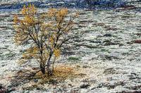 Tundra with birch in autumn / Dovrefjell-Nationalpark  -  Soer Trondelag Norwegen