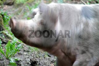 Kopfschüttelndes Bentheimer Landschwein