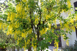 yellow flowers of a laburnum