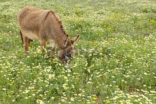 Esel auf einer Blumenwiese, Mallorca