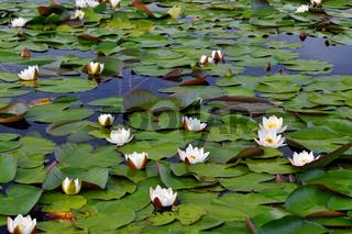 Field water lilies (Nymphaea alba)