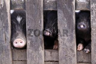Minischweine hinter einem Zaun
