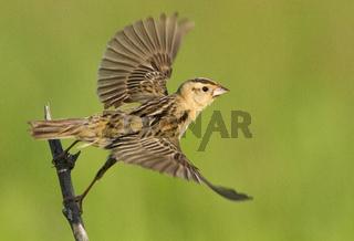 A female Bobolink in flight